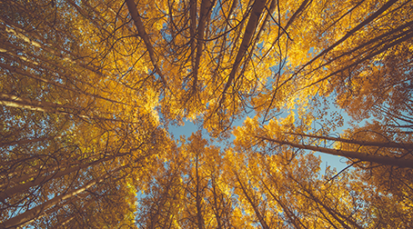 Tall, golden autumn trees against a bright blue sky